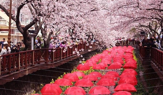 jinhae-cherry-blossom1